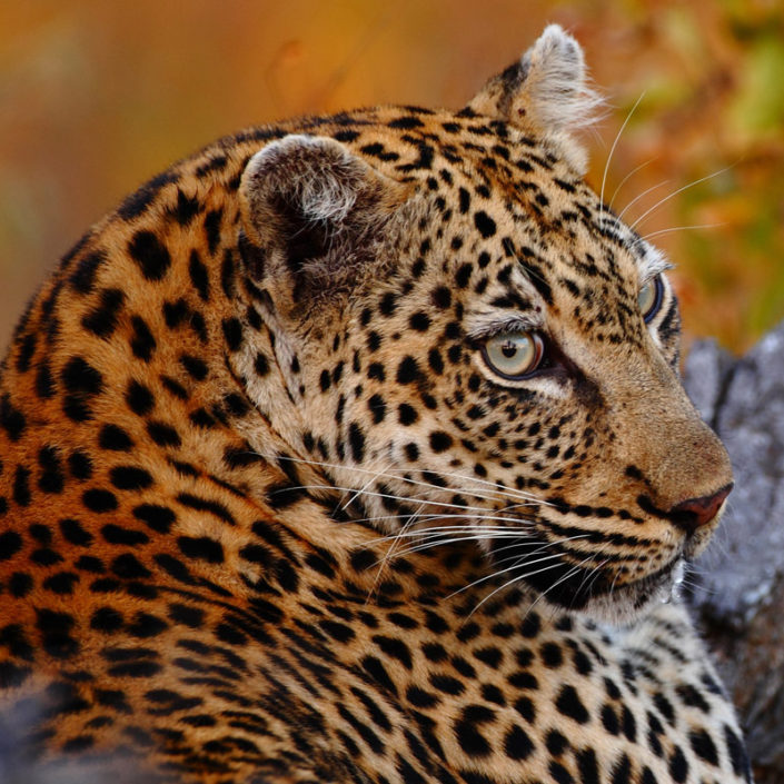 infinite_africa_travel_south_africa_motswari_game_lodge_leopard